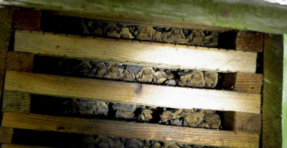 Šikšnosparnių kolonija