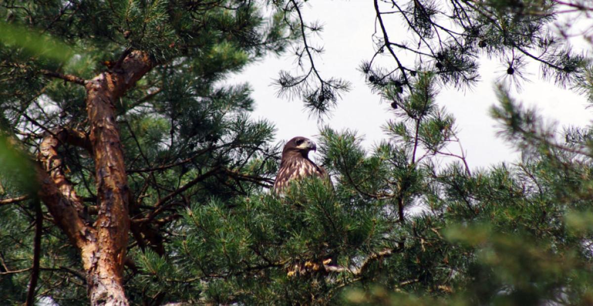 Parko miškuose perintis jūrinis erelis