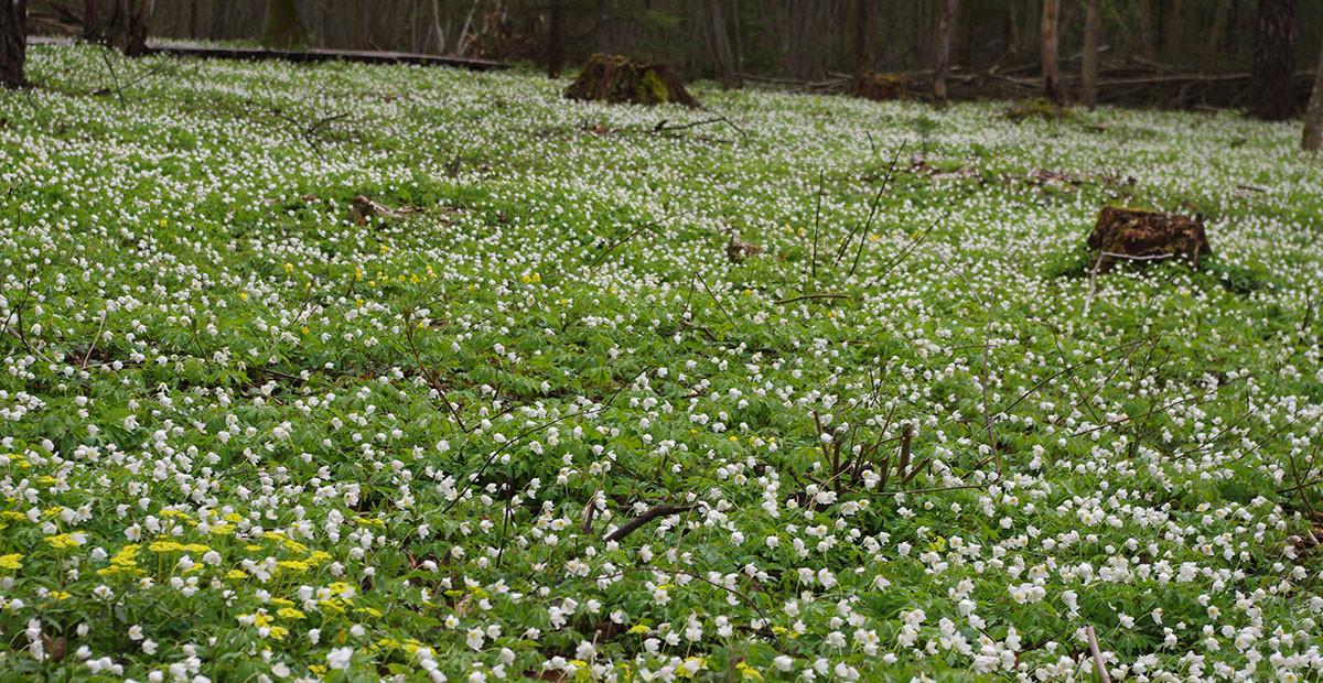 Baltažiedžių plukių kilimai Dūkštų ąžuolyne