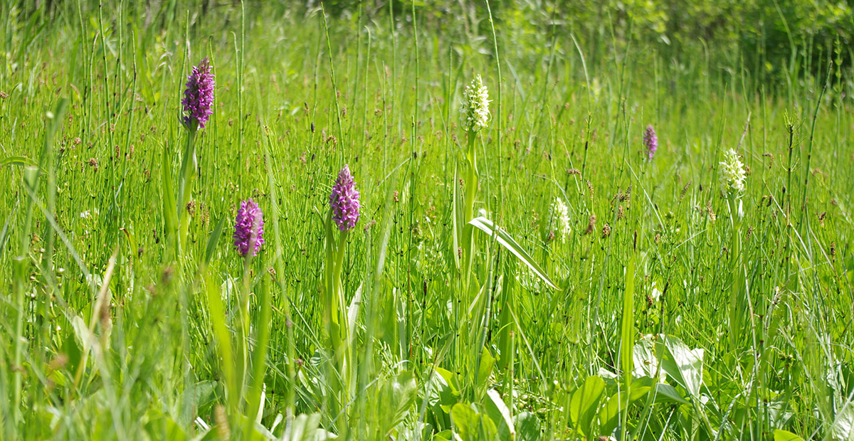 Lietuviškos orchidėjos-gegūnės