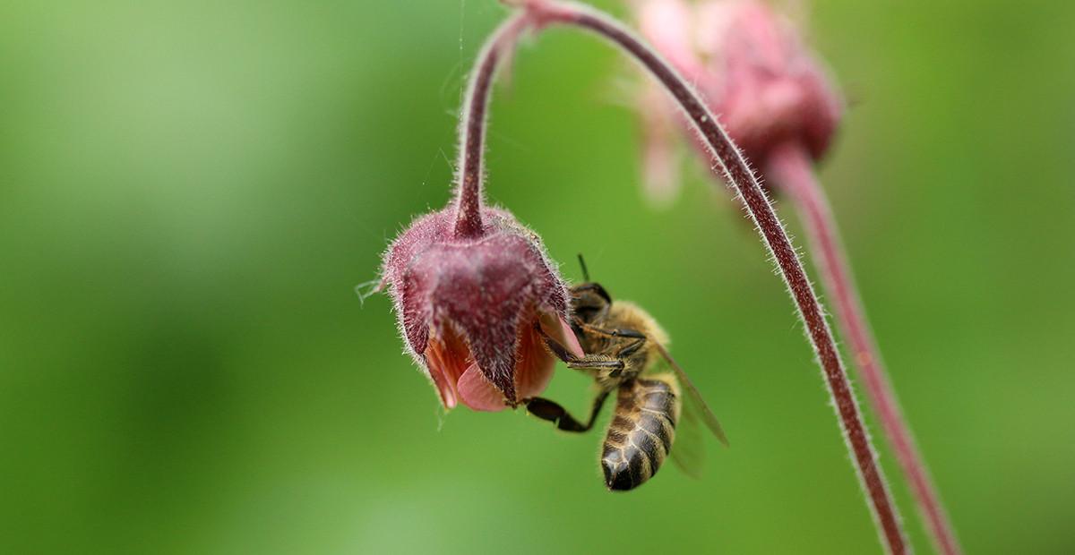 Bitė skanauja raudonosios žiognagės medų