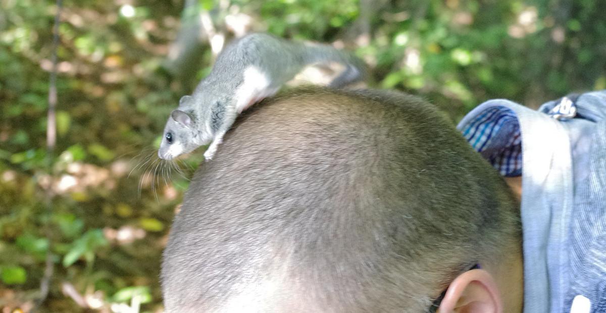 Kartais didžiųjų miegapelių inkilų tikrinimas gali baigtis ir taip